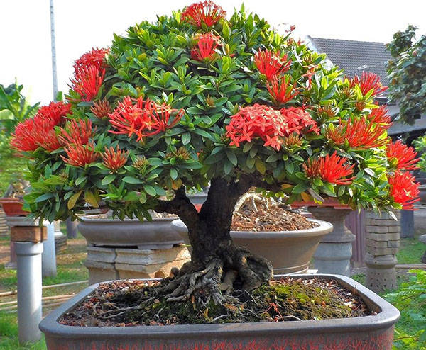 Дерево красной искоры в горшке
