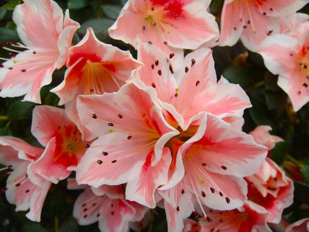 Розово-белая индийская азалия