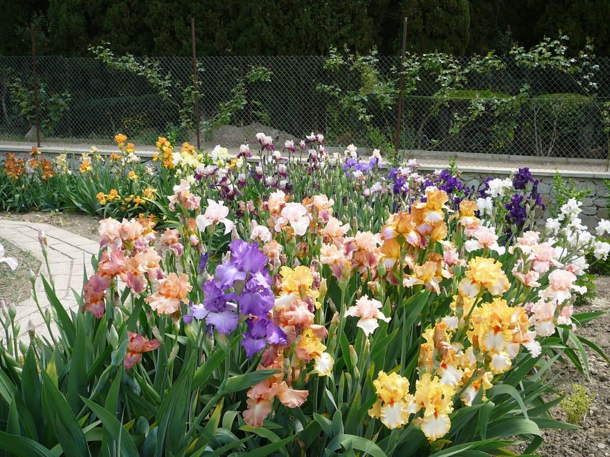 Сад с разноцветными ирисами сибирскими