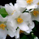 Ветка цветка жасмина