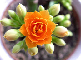 Оранжевый цветок каланхоэ