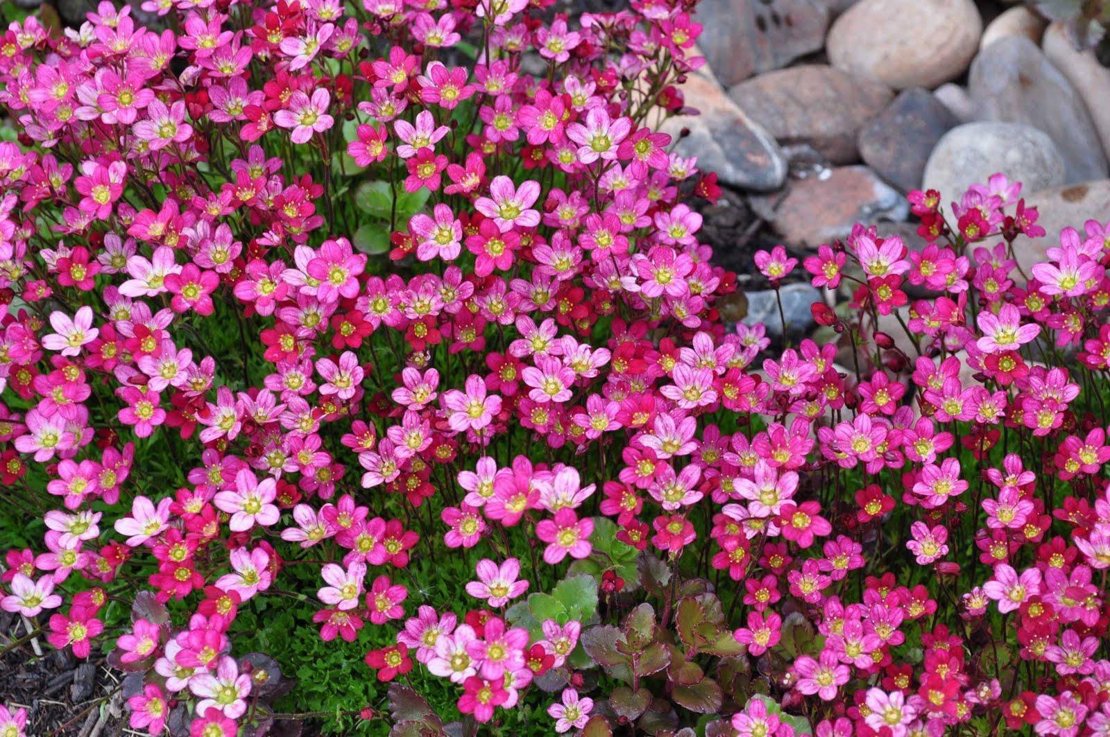 Которые стелятся по земле фото цветов