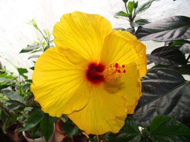 Желтый цветок гибискуса Киото