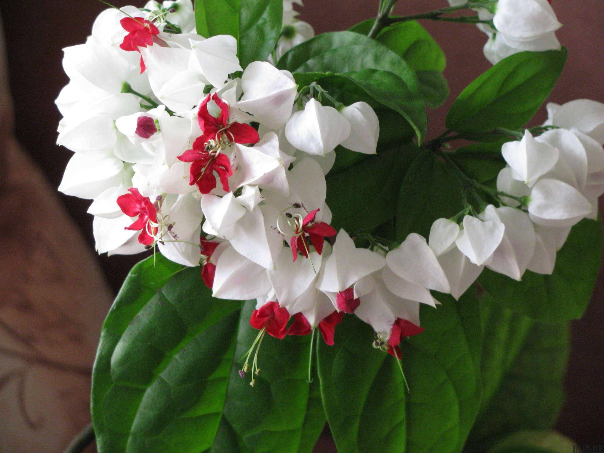 Цветение клеродендрума душистого