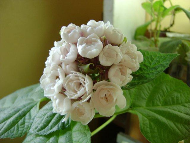 Кремовые цветки душистого клеродендрума