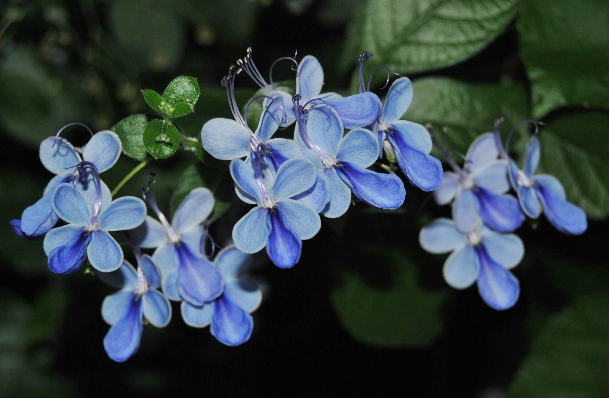Голубые цветы угантийского клеродендрума