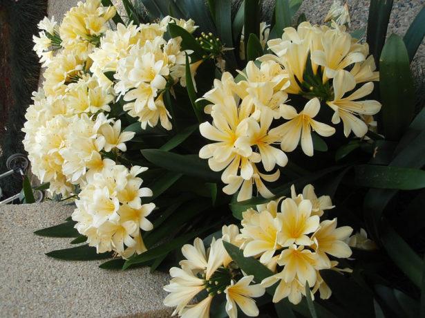 Много цветков кливии гардены