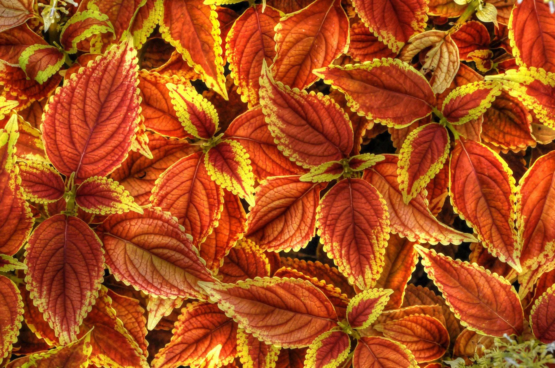 Резные листья колеуса Блюме
