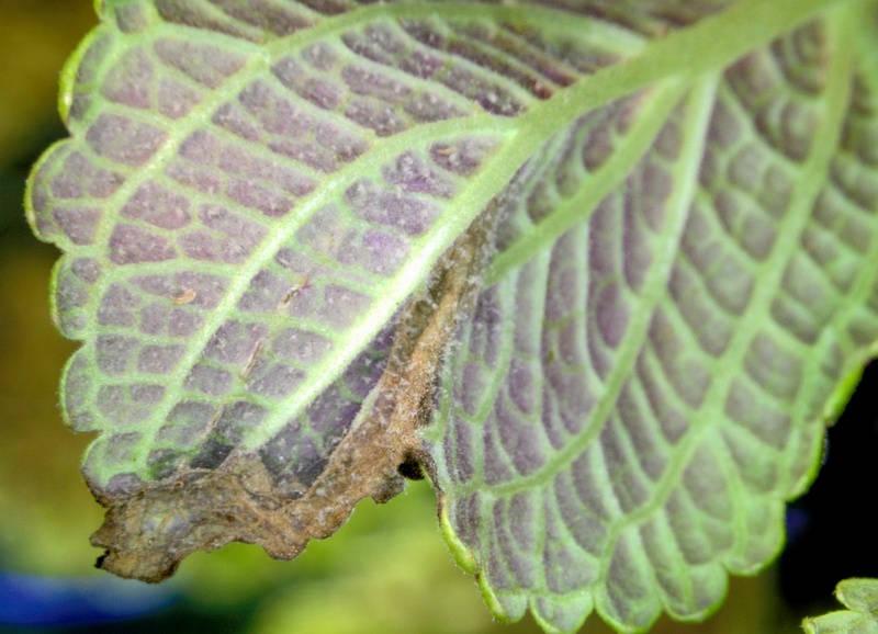 Засыхание листьев колеуса