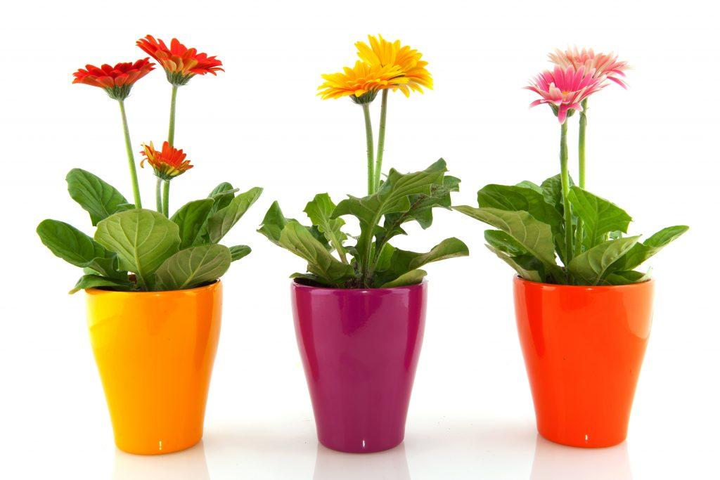 Комнатные герберы в высоких разноцветных горшках