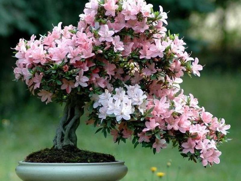 Японская азалия-дерево