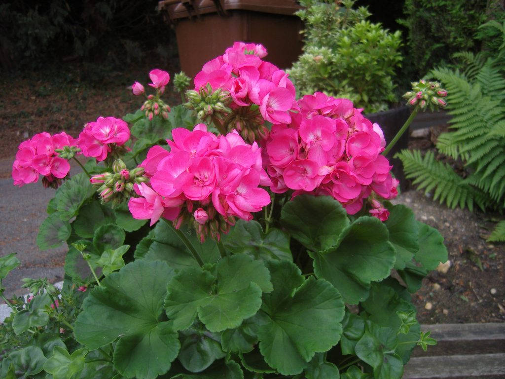 Розовый куст пеларгонии на улице