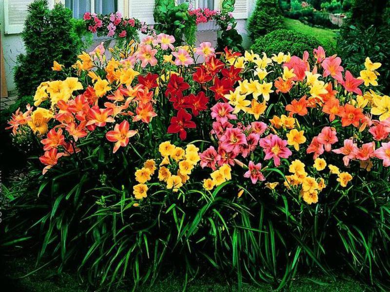 Разнообразные сорта лилейника в саду возле дома