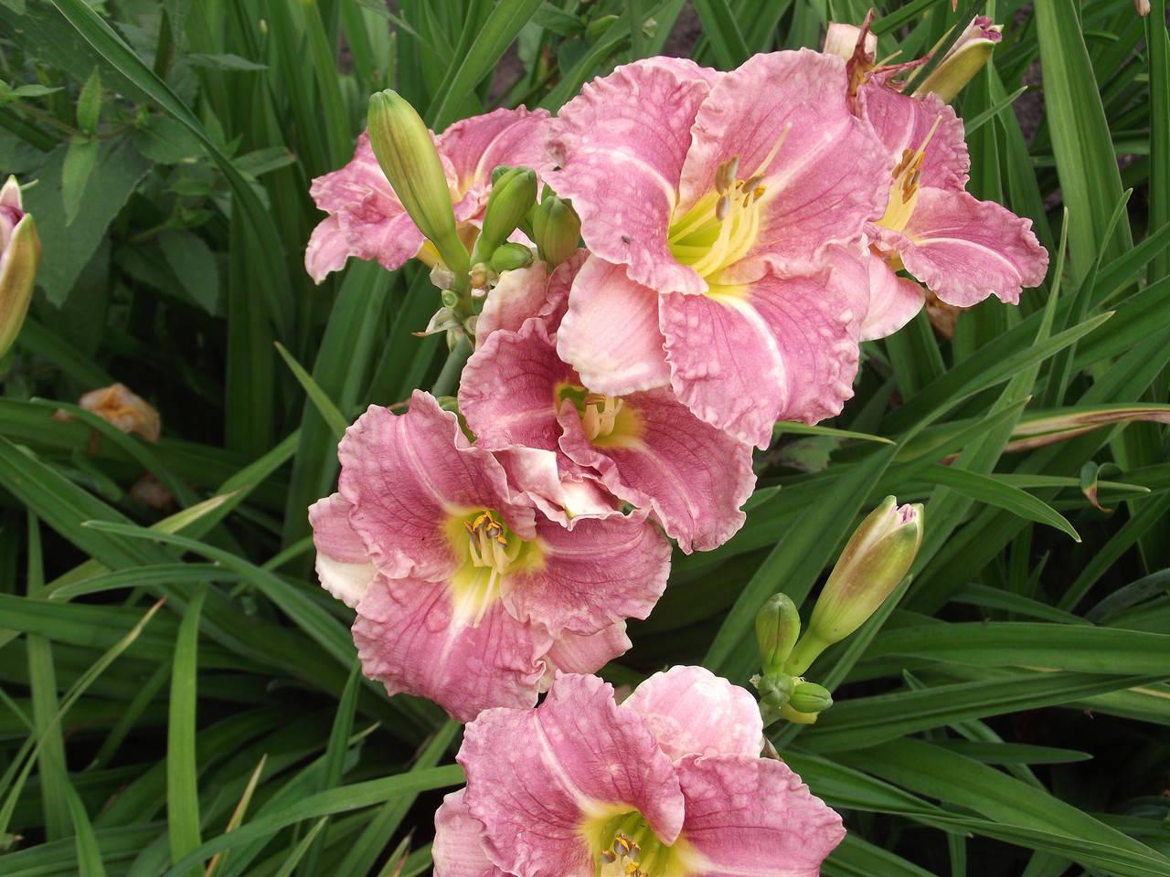 Цветущий в саду лилейник romantic rose