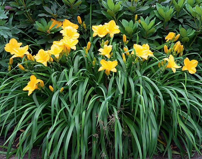 Лилейник Golden Prize в саду