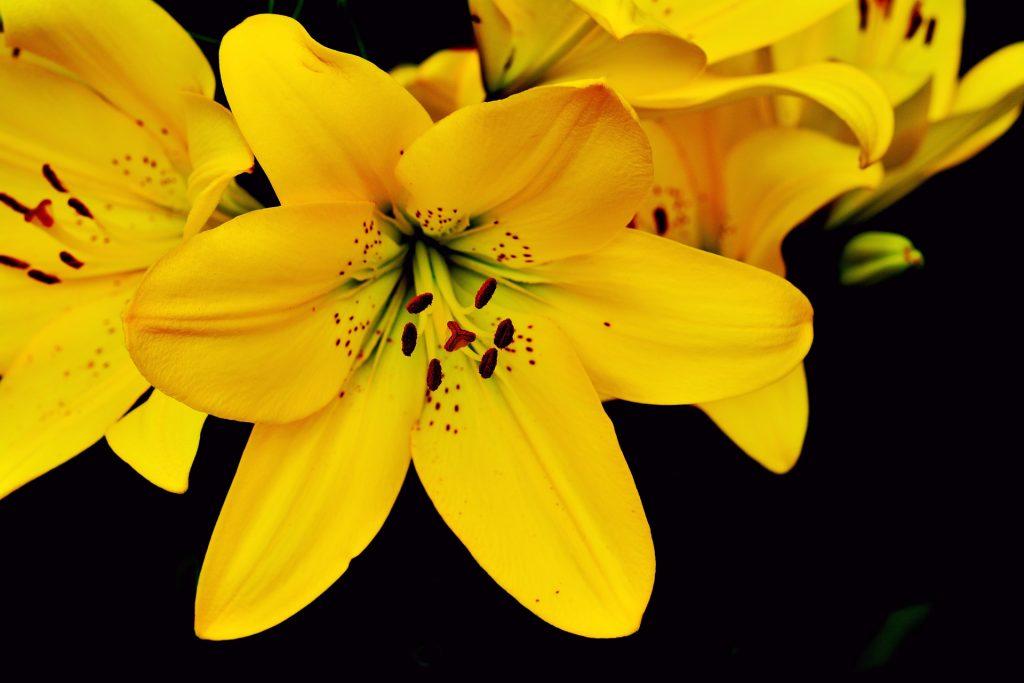 один самых картинки желтых лилий реке