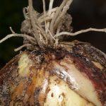 Луковый клещ на луковице амараллиса