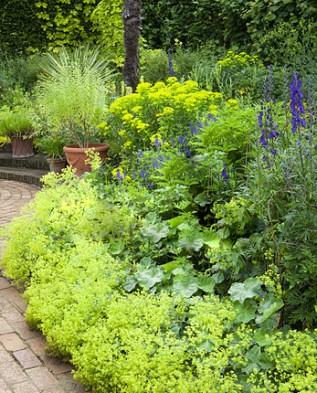 Манжетка в саду на клумбе