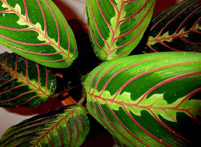 Листья красножильной маранты