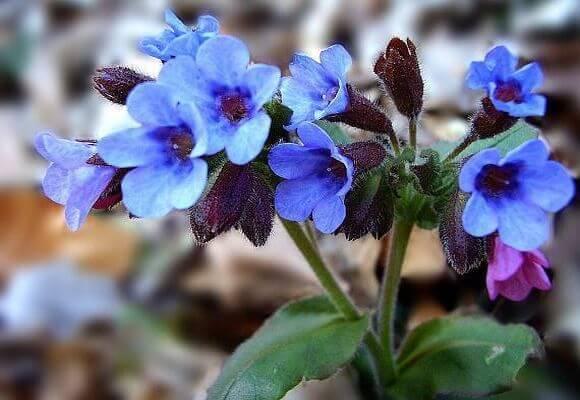 Голубые цветы медуницы