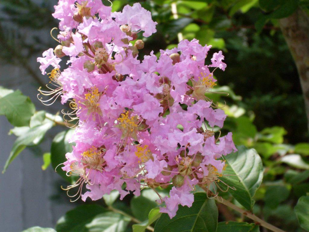 Красивый розовый мирт Ральфа