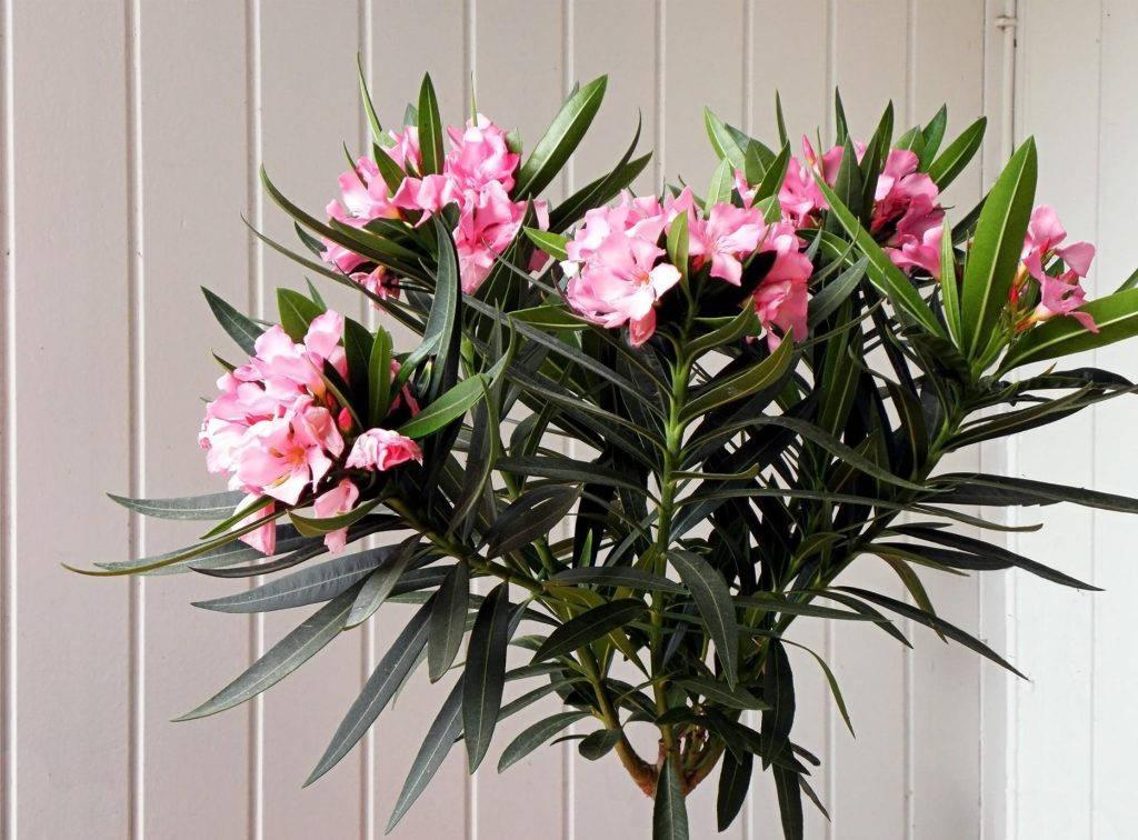 Цветок олеандр цветение