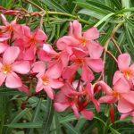 Олеандр Солеин Левант мелкие цветы