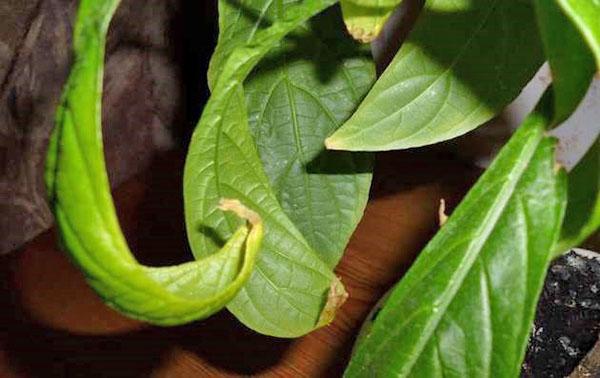 Болезни листьев пахистахиса