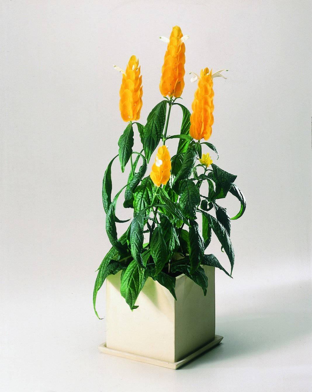 Желтый пахистахус в белом горшке