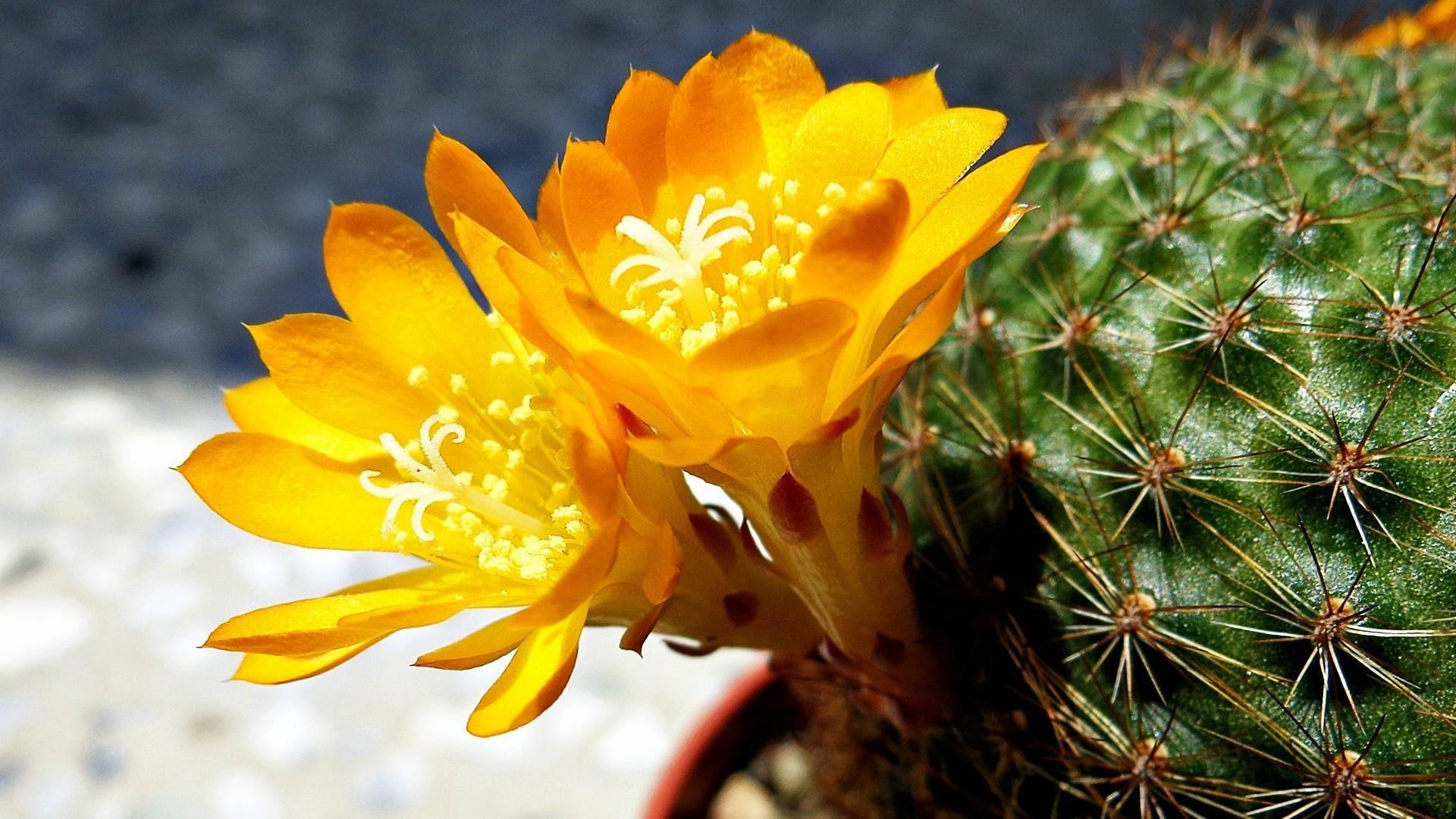Желтые цветки пародии