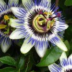 Цветы синие пассифлоры