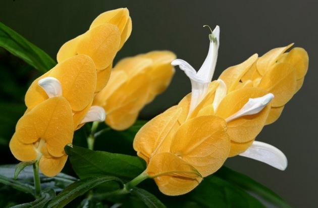 Цветок желтого пахистахиса лютея