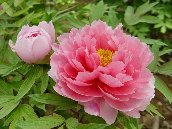 Красивый розовый пион