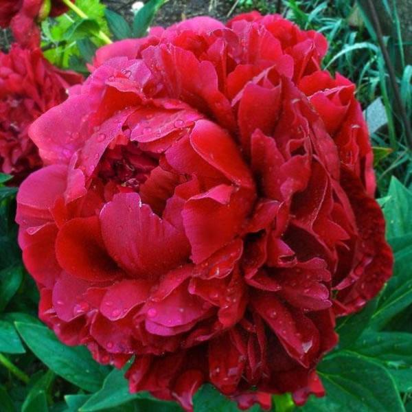 Цветок пиона Henry Bockstoce