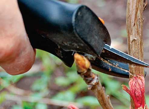 Размножение пиона древовидного черенкованием