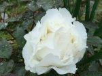 Пион Кошинаюки белоснежный цветок