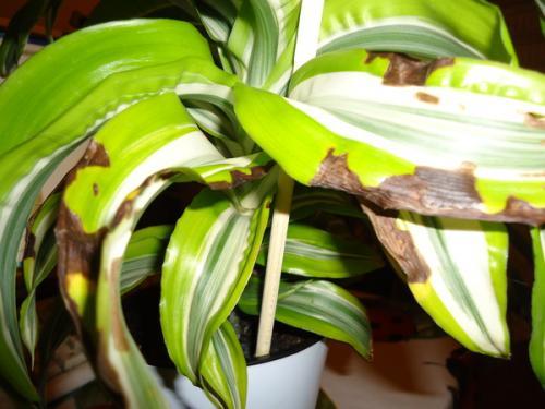 Листья повреждены питиумом