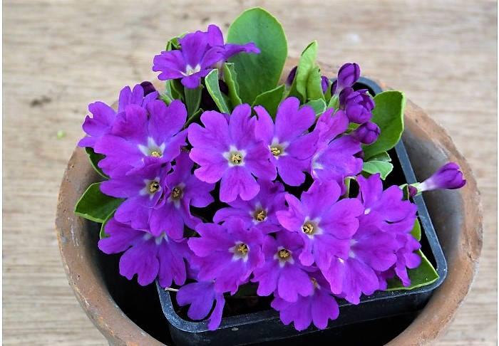 Фиолетовая мягкая примула
