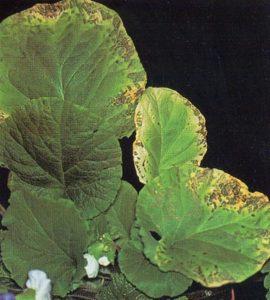 Пятнистость листвы примулы