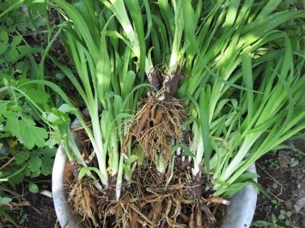 Размножение лилейника садовое делением куста