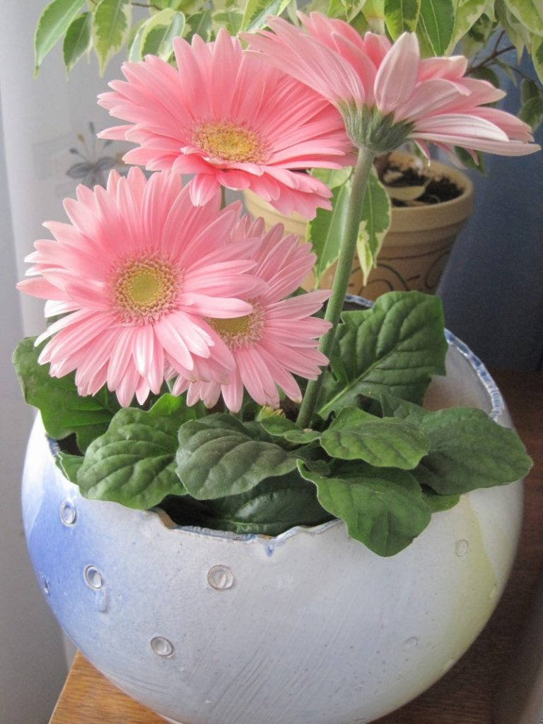 Розовая гербера в круглом горшке