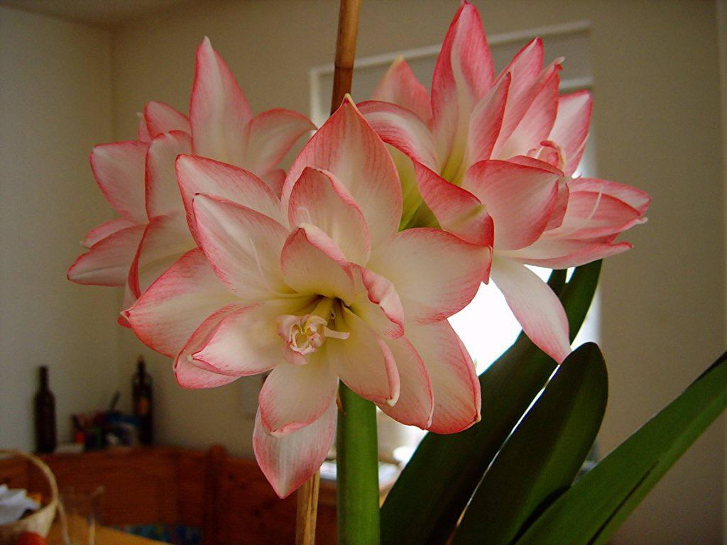Белый с розовым амариллис