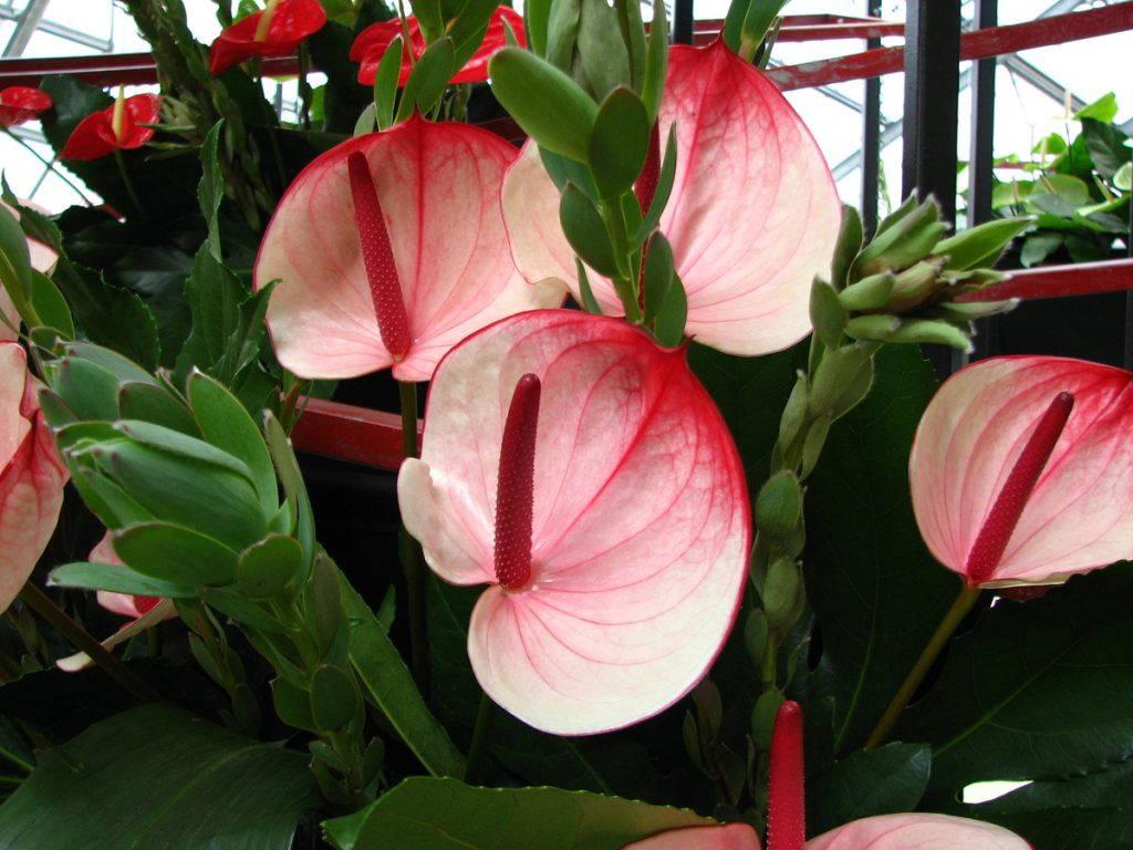 Розовый антариум