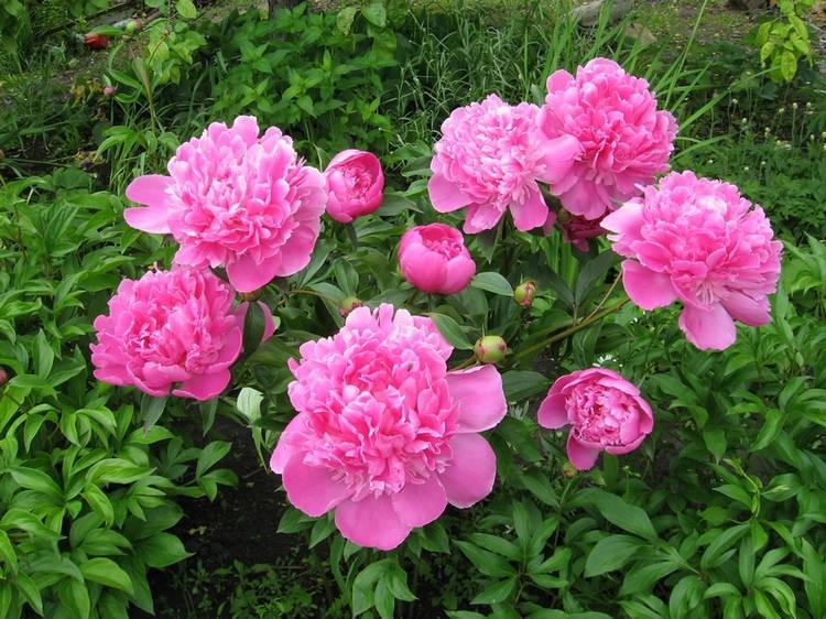 Куст розового пиона в дачном цветнике