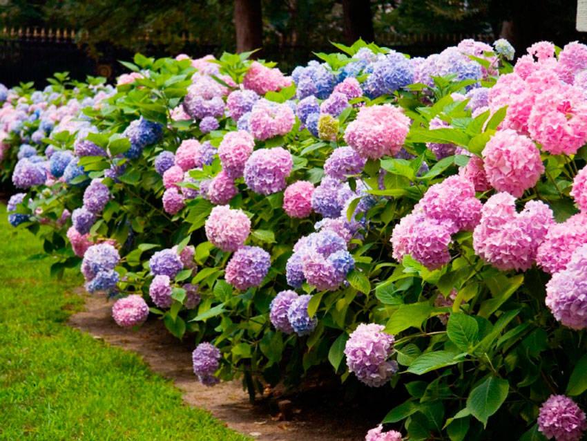Садовая гортензия разноцветные кусты