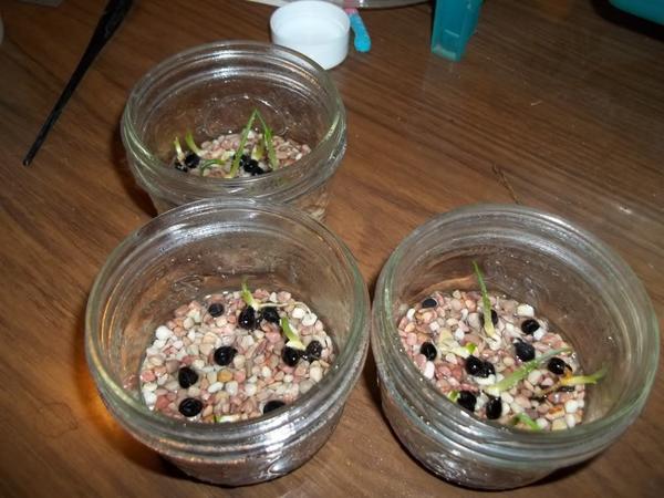 Размножение лилейника семенами