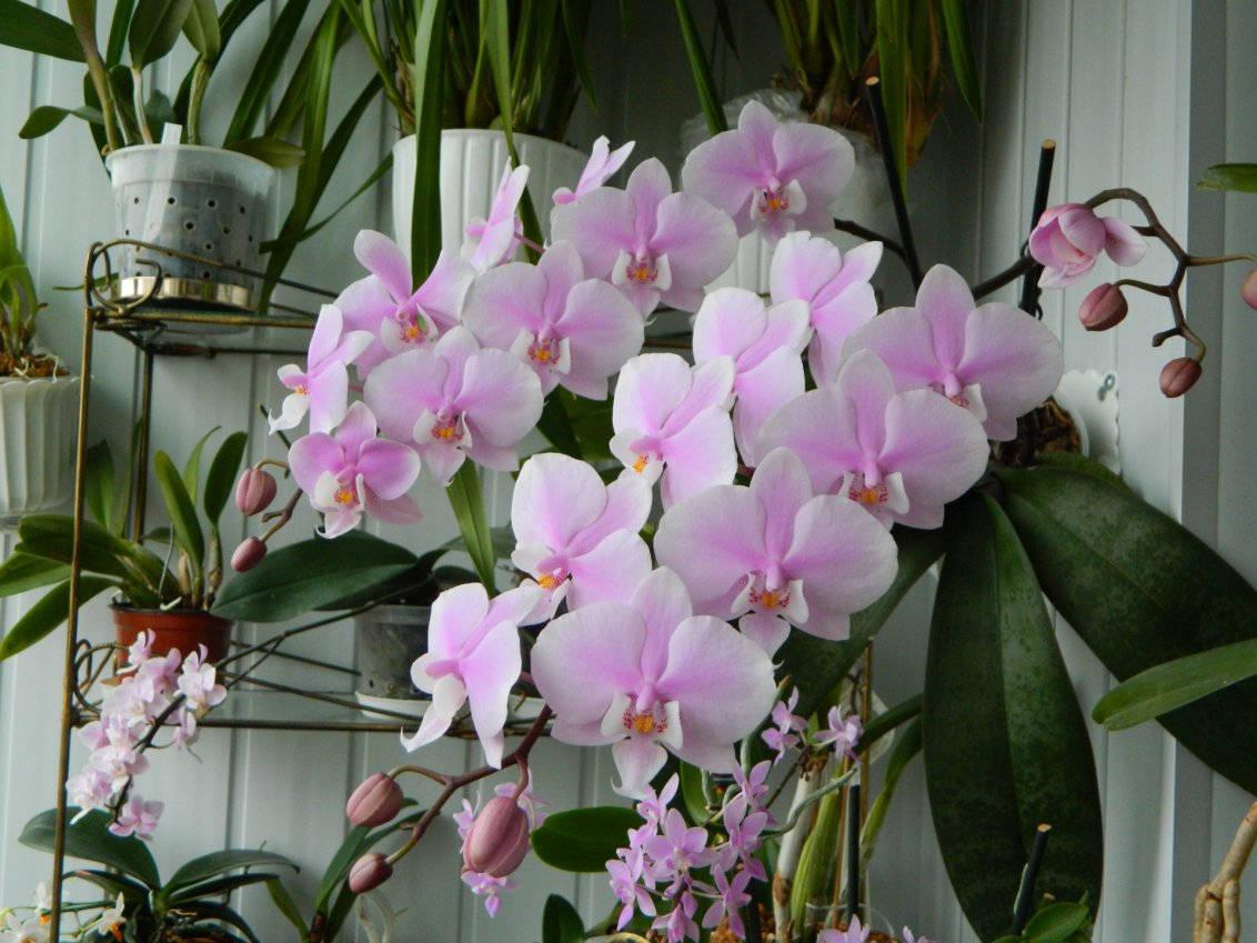 Нежная орхидея шиллера