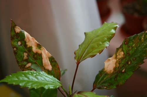 Солнечный ожог листьев гибискуса