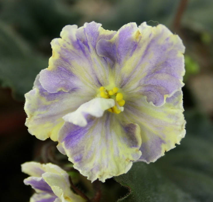 Цветок стрептокарпуса блубери батерфляй