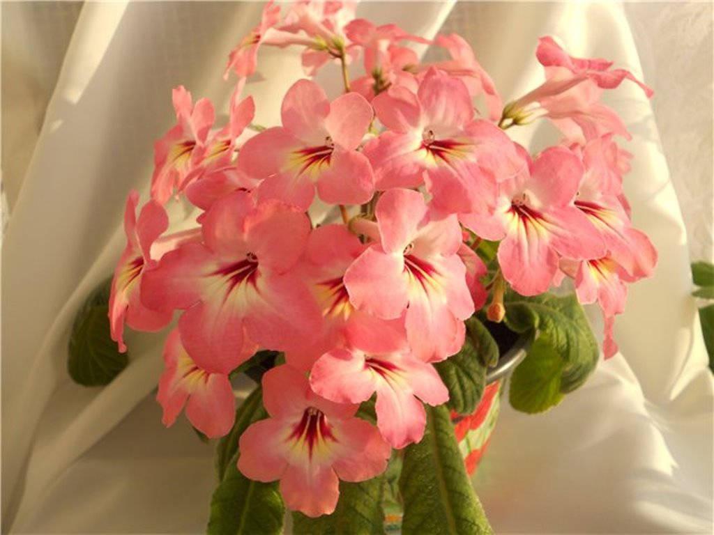 Нежно розовый стрептокарпус саламон сансет